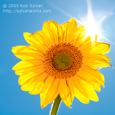 Sun Rising Over a Sunflower