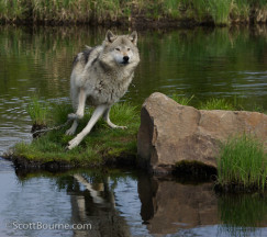 Wolves  5131