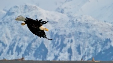 A Bald Eagle dives across my view of the Kenai Mountains - Copyright Scott Bourne 2011 - All Rights Reserved