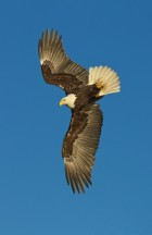 A Bald Eagle turns in mid-air to dive for fish in Alaska - Copyright Scott Bourne 2001 - All Rights Reserved