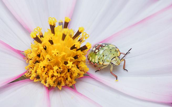 cosmos-bug