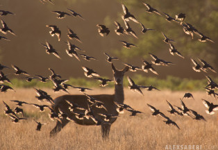 alexsaberi_starlings2