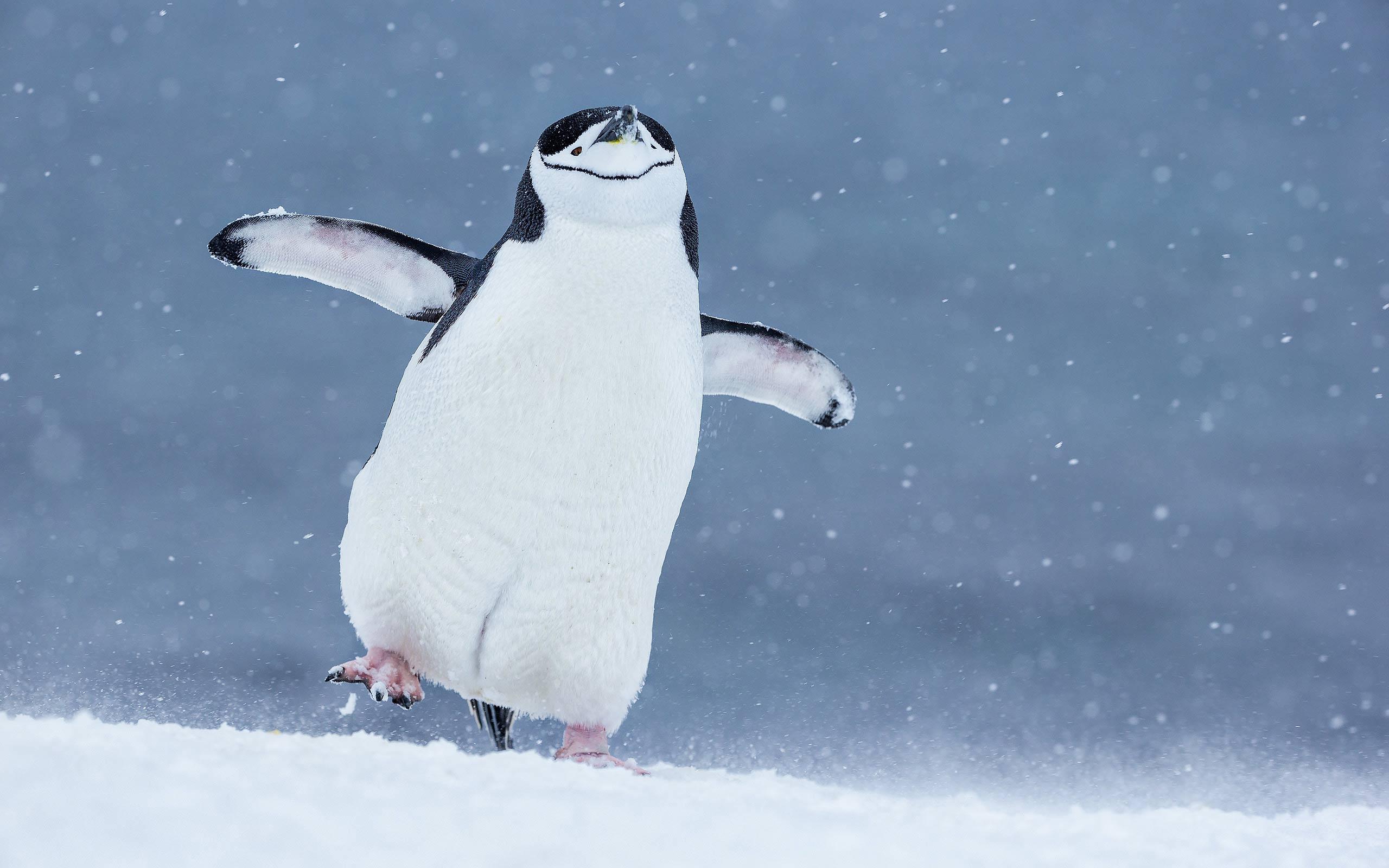 Chinstrap Penguin Walking - © 2015 Clemens Vanderwerf