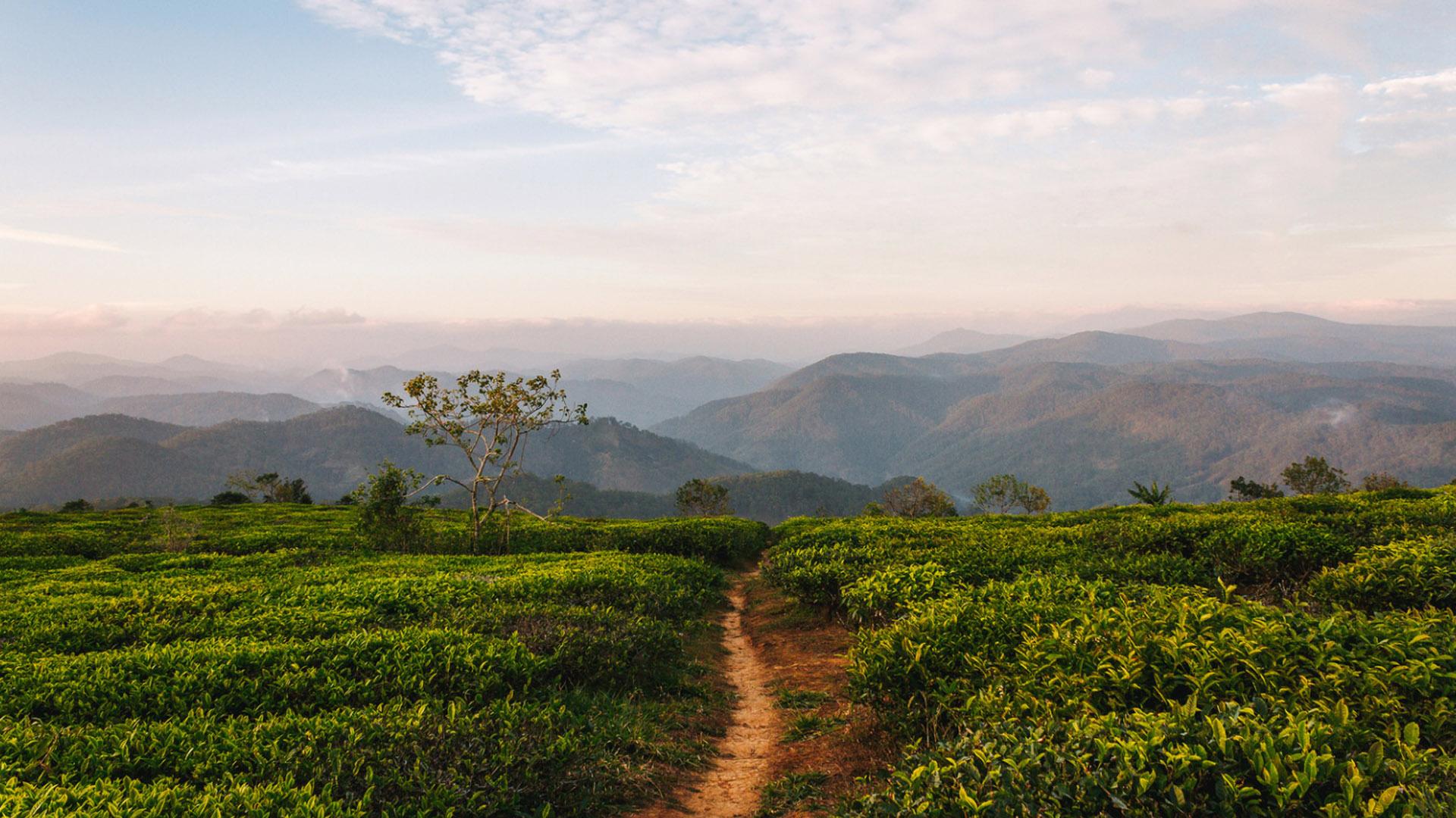 Huy Nguyen Cau Dat Tea Plantation