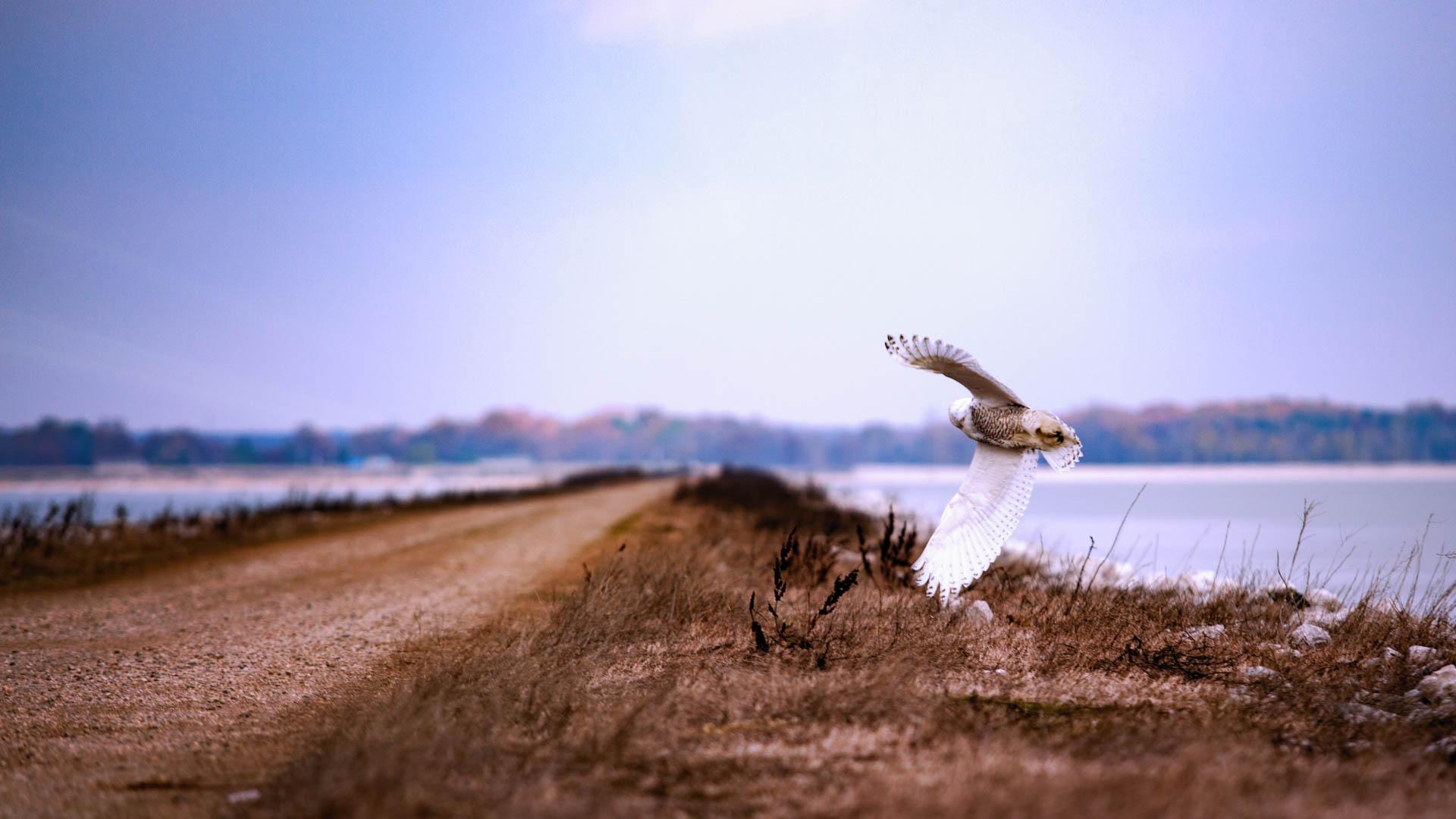Cathy Seaver Snowy Owl IMG_0210-Edit-Exposure-Edit
