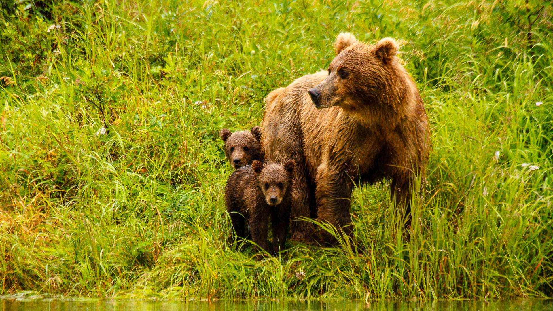 Alaskan Brown Bear - Griizzly