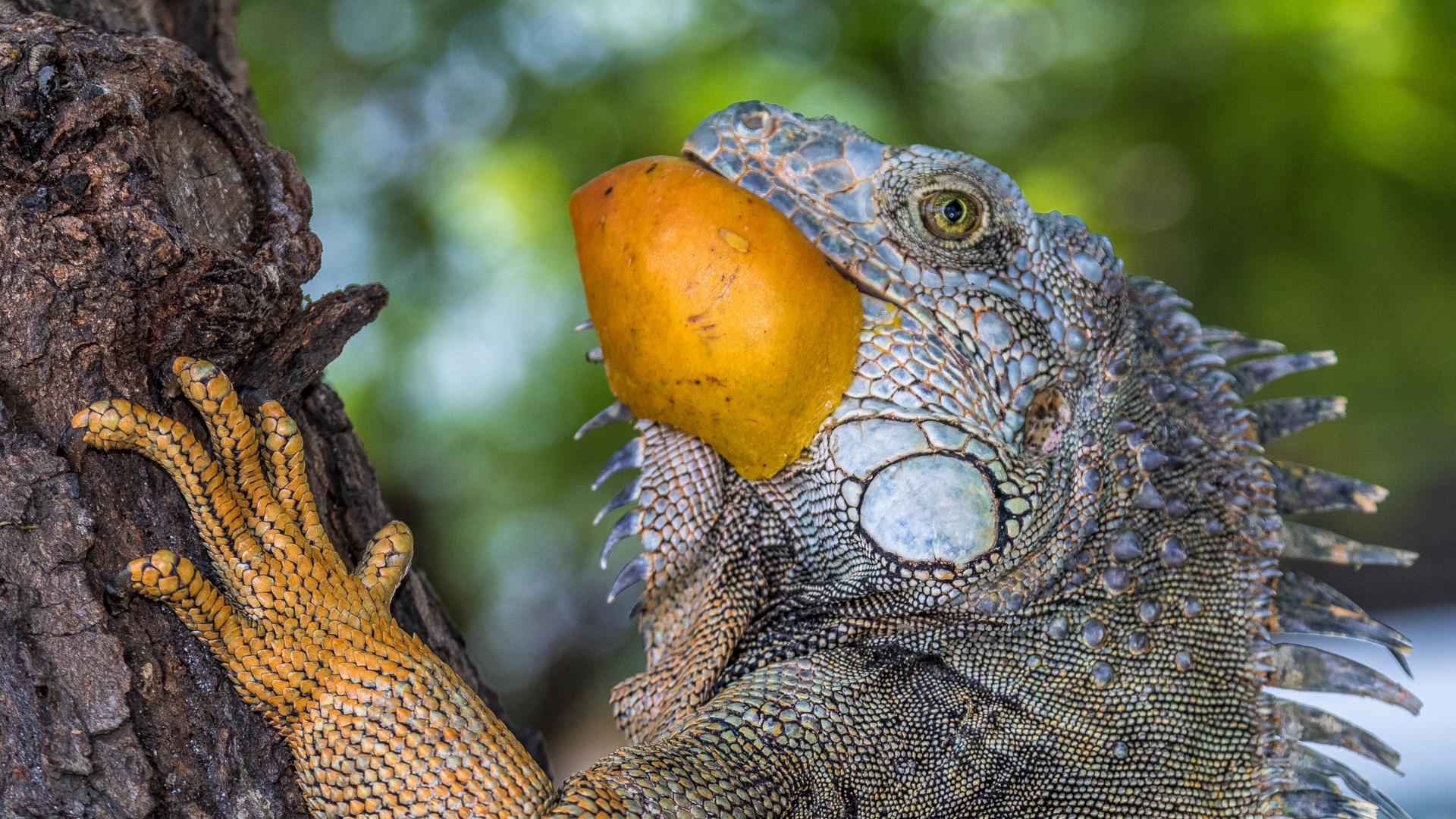 Tim_Grey-Iguana