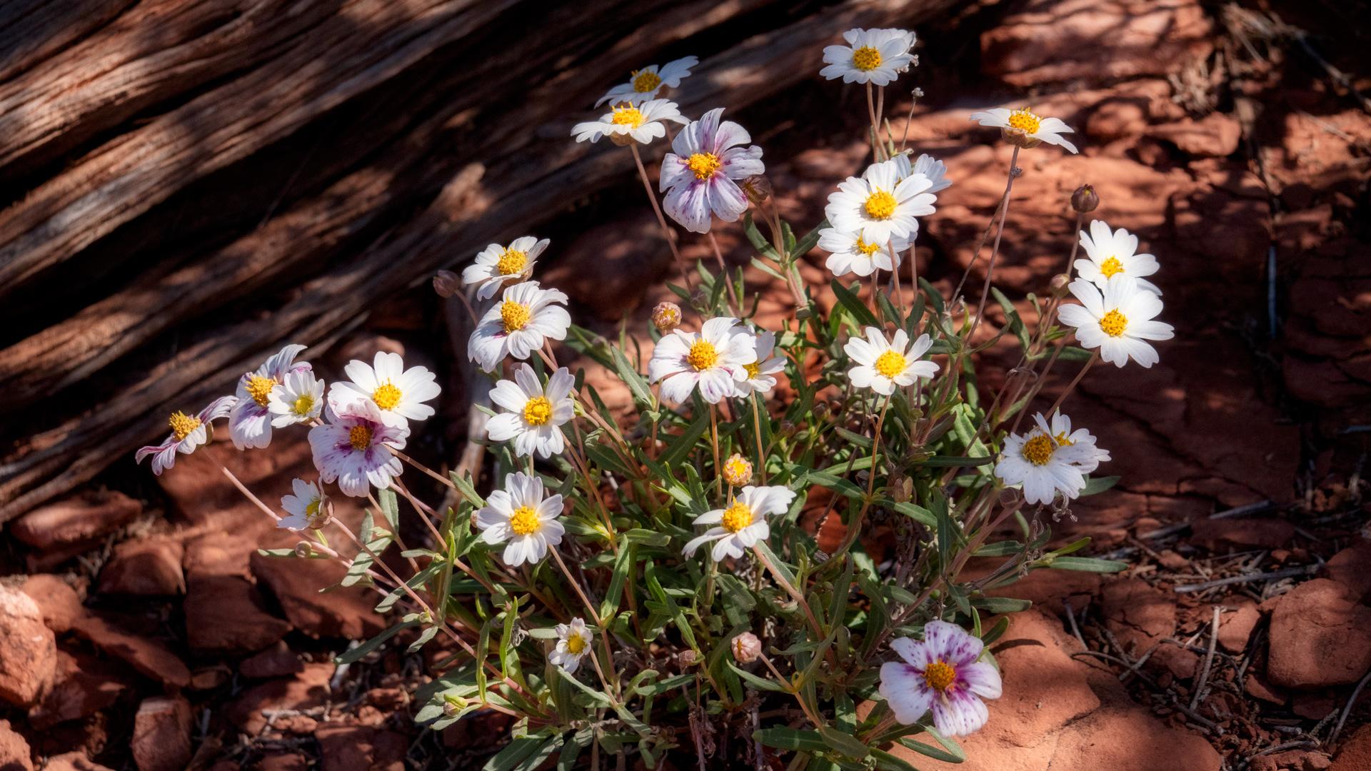 plains blackfoot wildflower