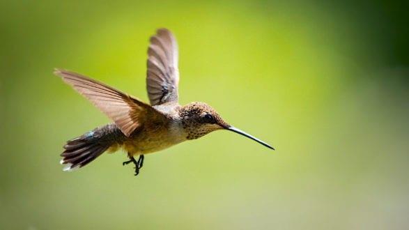 hummingbird_P1211460_2560p