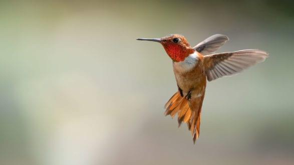 bird photography roufus hummingbird