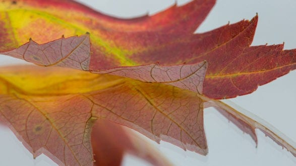 macro photograph fall leaf