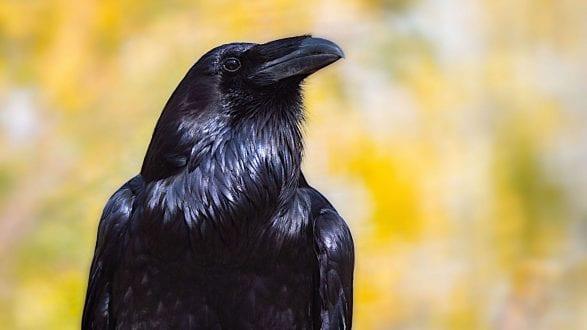 raven_P1336540_2560p
