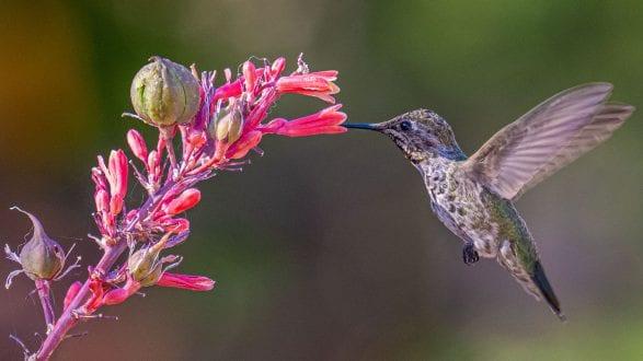 hummingbird_w_hesper_aloe_6130555_2560p