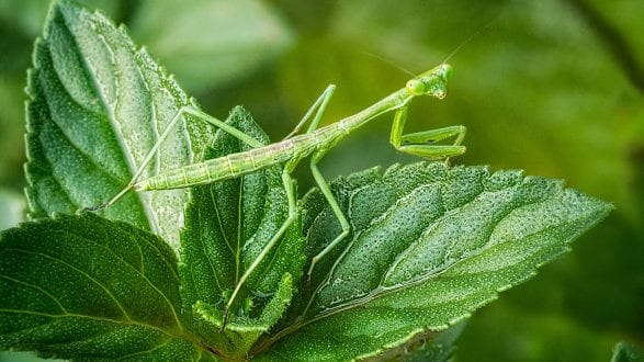 preying_mantis_looking_stackedfrom_RAW_2560p