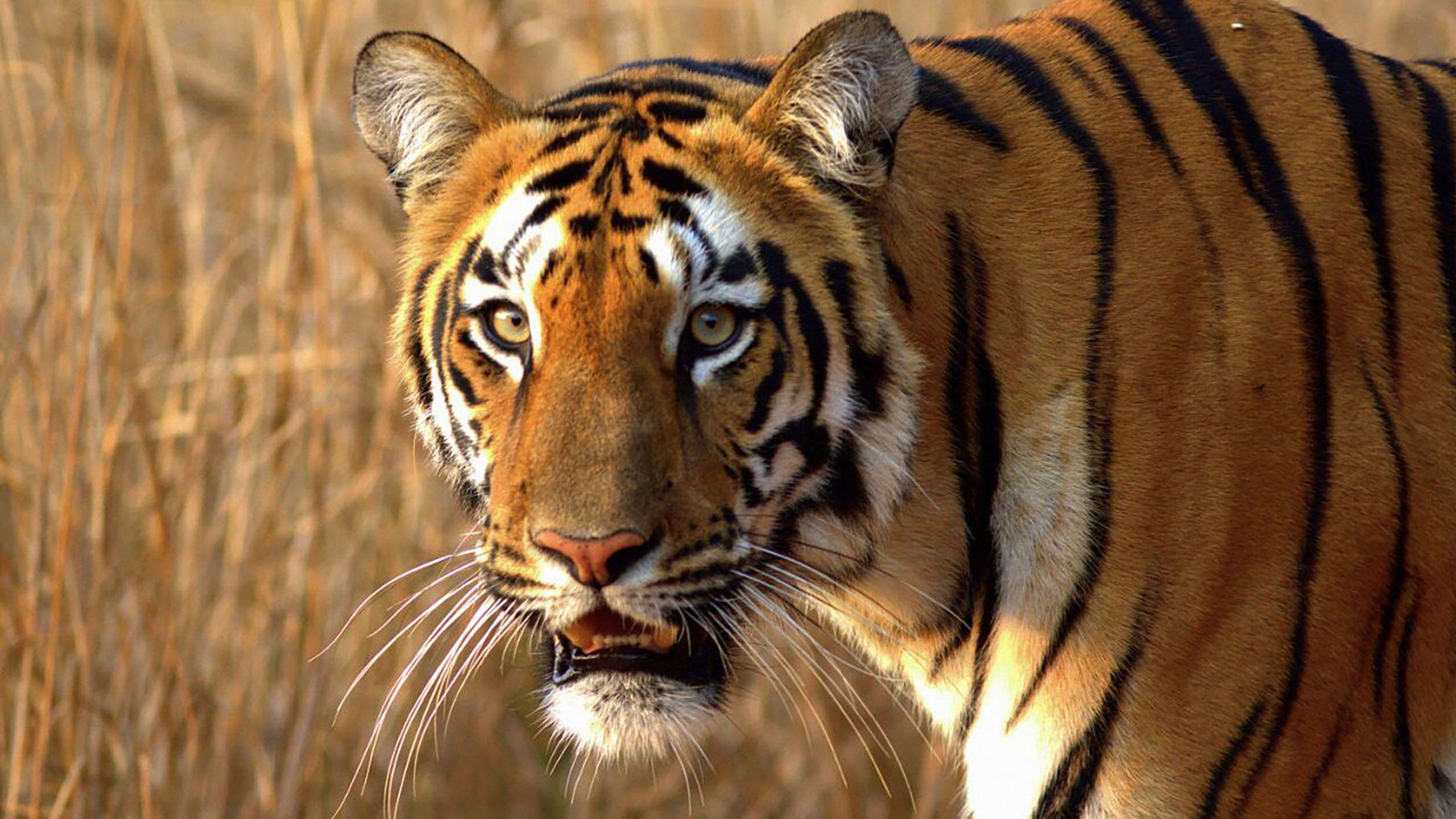 Sushma-Mishra-Tiger-Featured-image